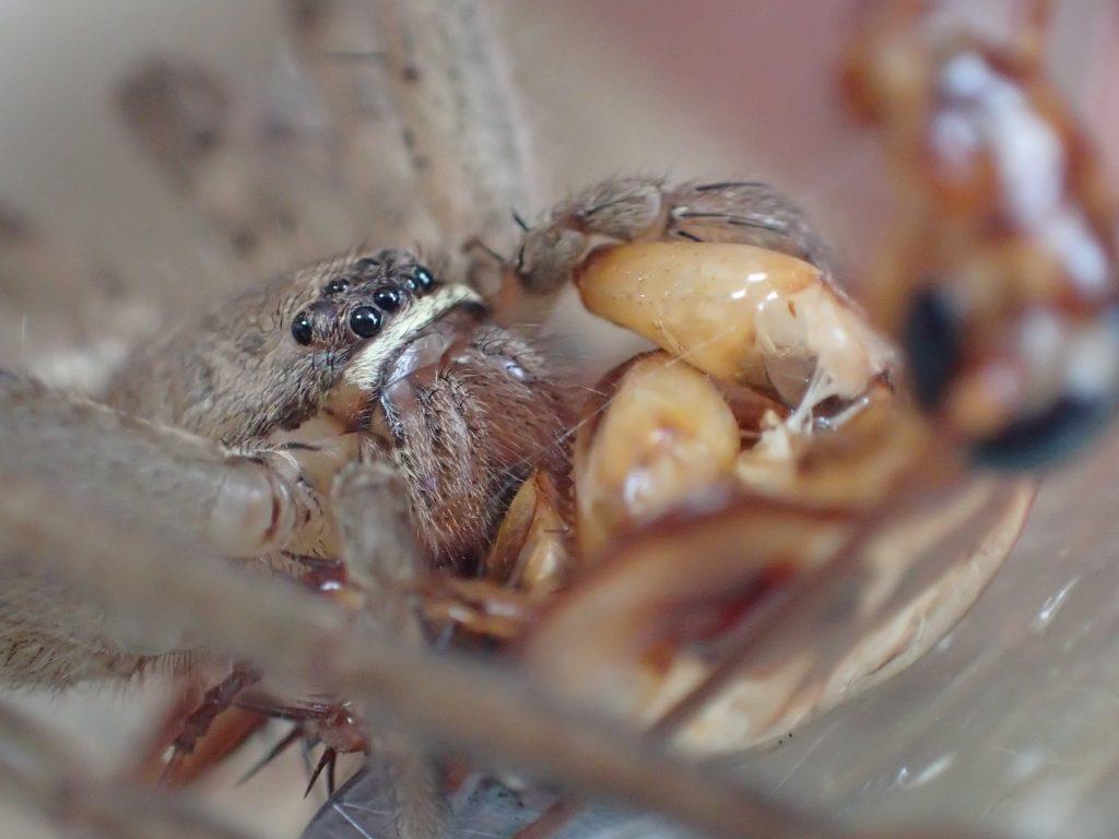 ググッ!と牙をゴキブリにめり込ませて弱るのを待つアシダカグモ