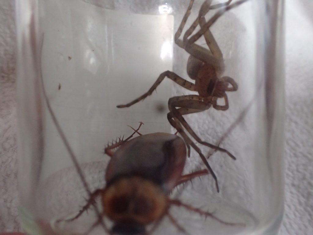 アシダカグモ以上に大きなサイズのワモンゴキブリ