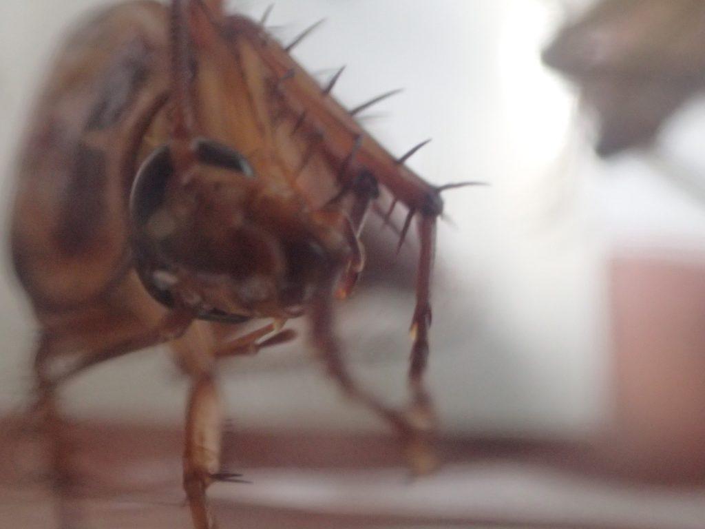 アシダカグモの存在を無視するかのように掃除に没頭するゴキブリ