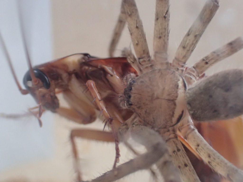 突然ゴキブリに飛び掛かりガブッ!と噛み付いたアシダカグモ!