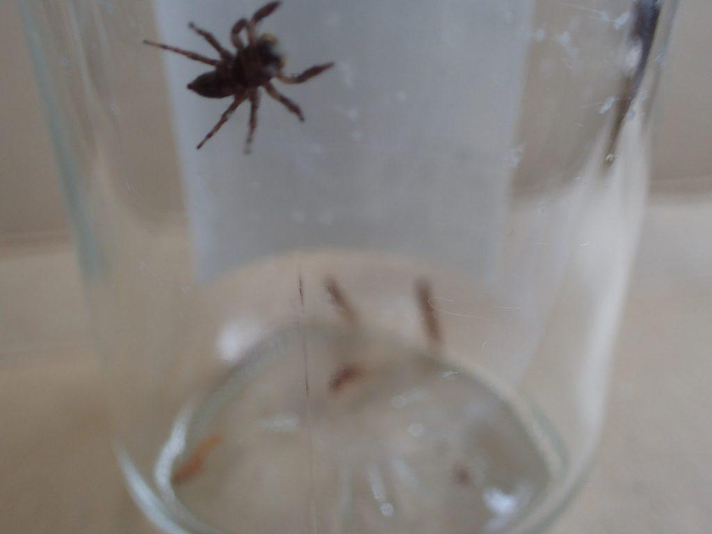 ハエトリグモにイエシロアリ(白蟻)を与えてみる