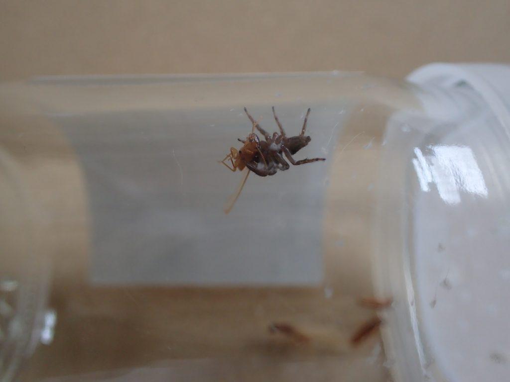 目にも留まらぬ早業で一瞬でシロアリを捕獲したハエトリグモ
