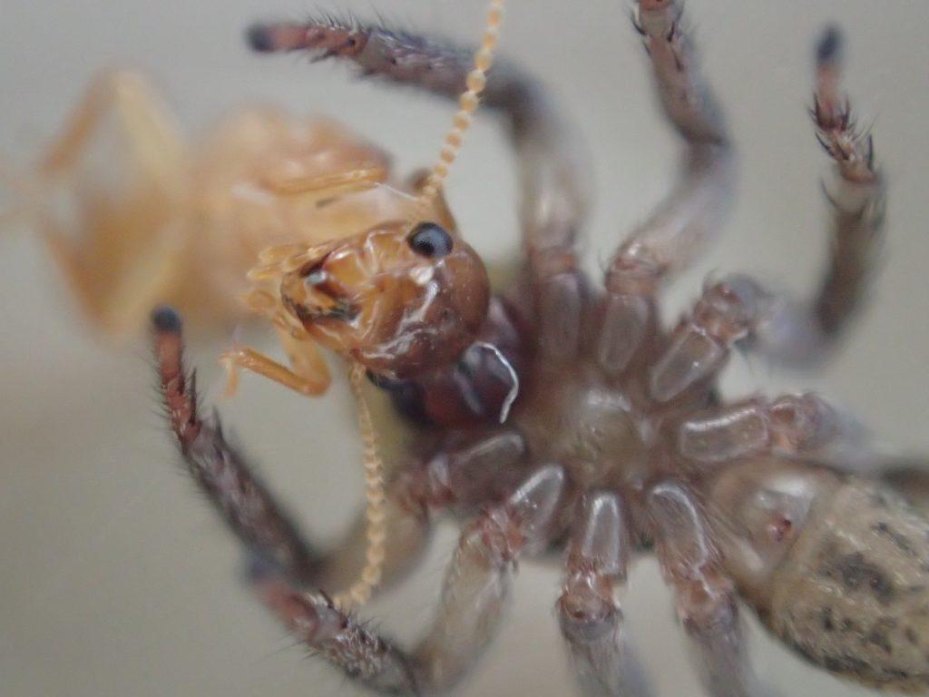 ハエトリグモは白蟻(シロアリ)を食べることが証明された瞬間