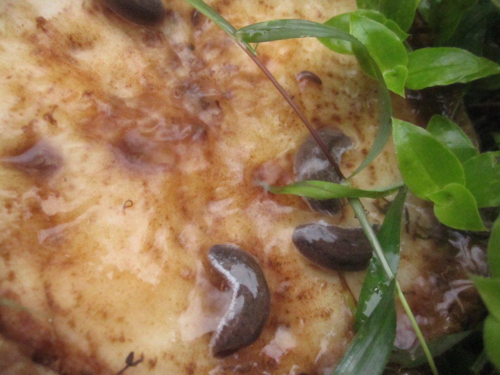 沸かした湯(熱湯)をナメクジ・カタツムリにかける