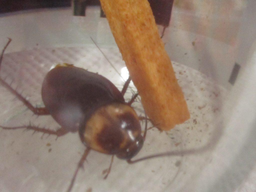 暴君ハバネロの辛い菓子スナックを触角で触って味を確かめる?