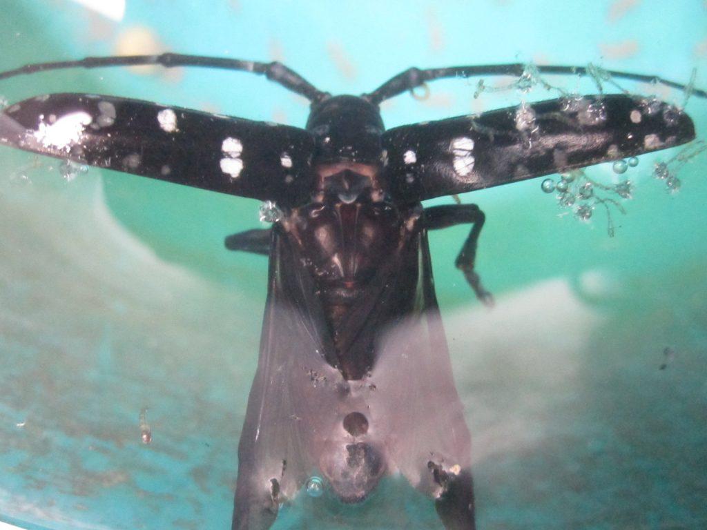 植物への水やり用に雨水を溜める容器に浮かんだゴマダラカミキリムシの屍骸