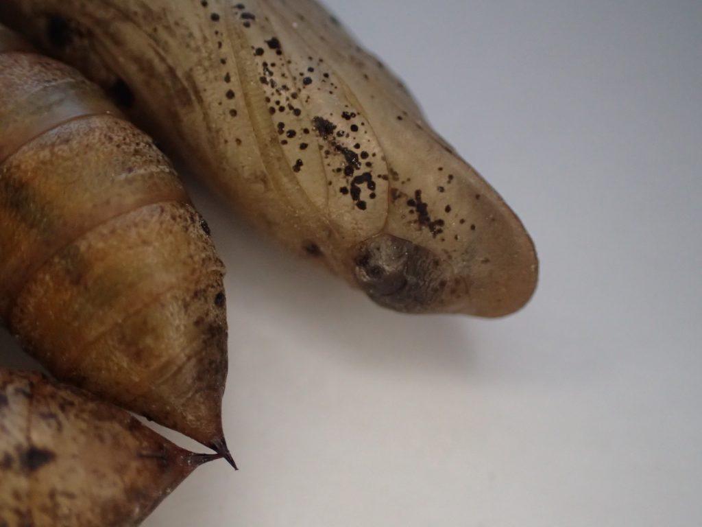 時折、モゾモゾと動くセスジスズメの茶色いサナギ(蛹)