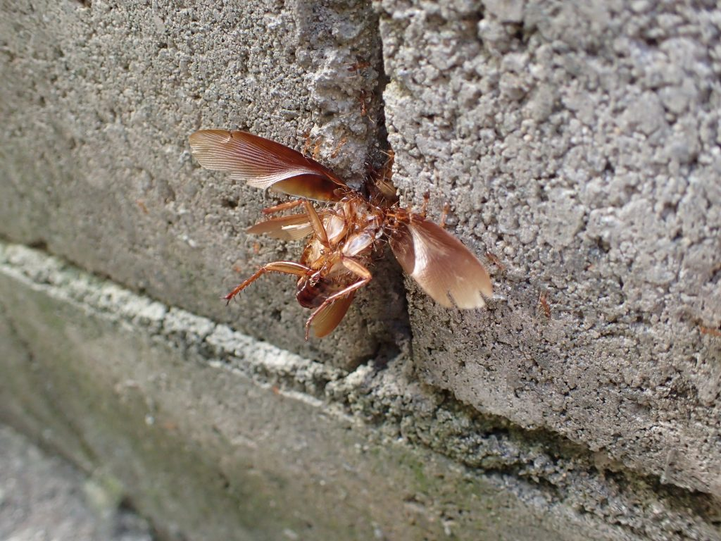 ブロック塀の隙間にゴキブリの亡骸を引きずり込もうとしている蟻の大群