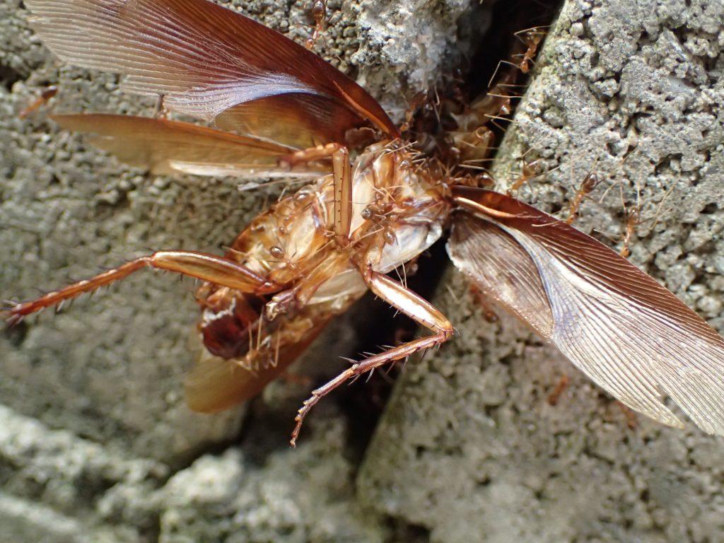 器用にゴキブリを解体しながら巣に運ぼうと働く蟻(アリ)