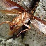 蟻はゴキブリを食べる益虫だから殺さないで(;´゚д゚`)!?自然界の掃除屋さんアリに学ぶ虫の美味しい食べ方