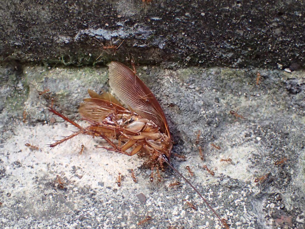 地面に横たわる害虫ワモンゴキブリの屍骸に群がるアリ