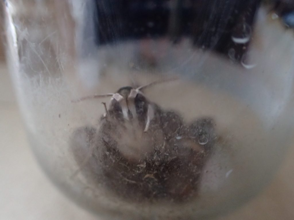 3つの蛹のうち2つが羽化して成虫の蛾になっていた