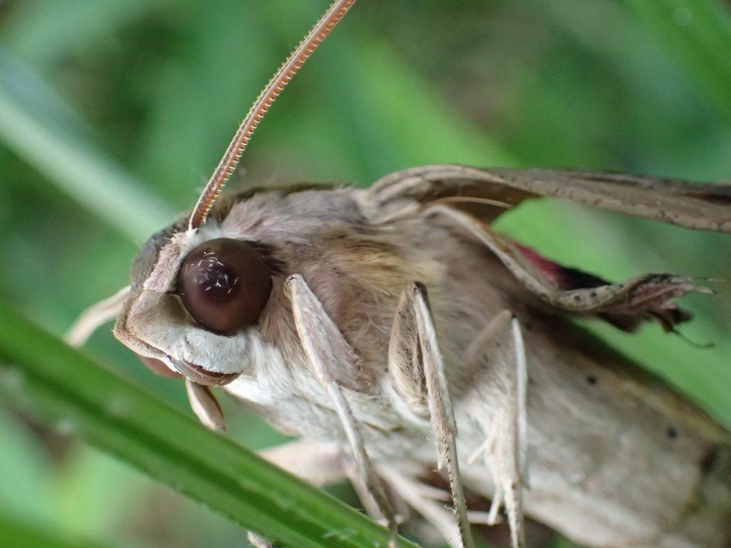 草木に登って羽・翅を休めるセスジスズメの成虫(蛾)