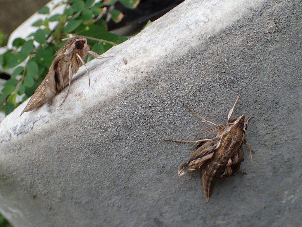 数時間後には飛び立つであろう成虫の蛾(セスジスズメ)