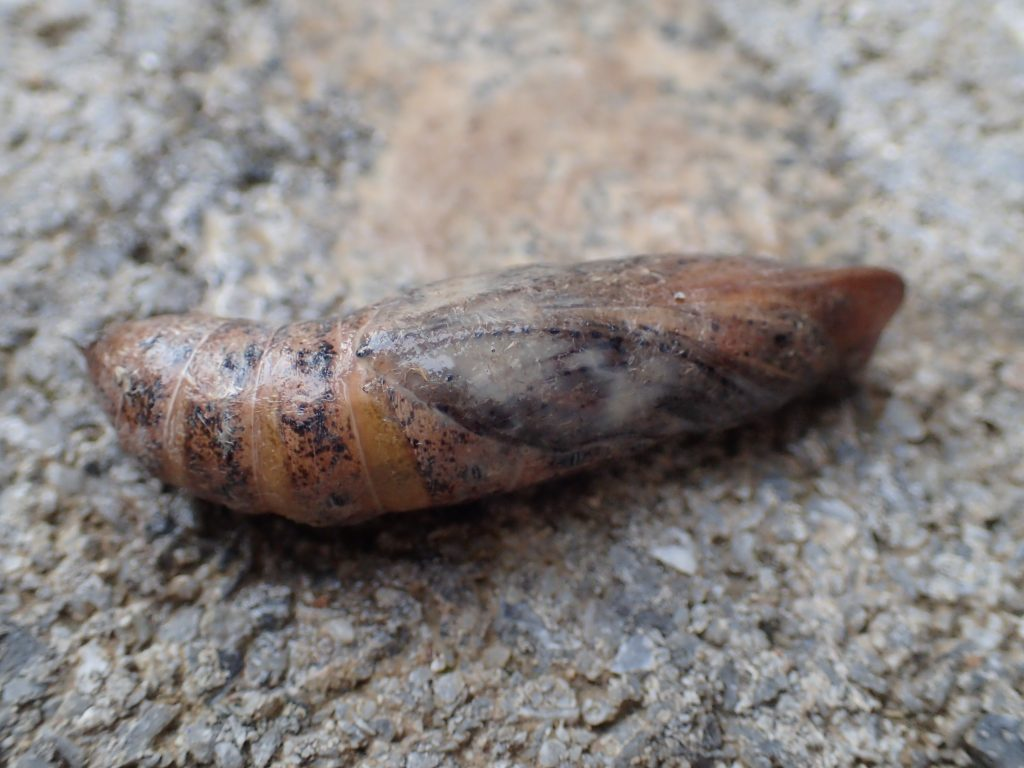 1つだけ残ったサナギ(蛹)も羽化して立派な成虫の蛾になるであろう