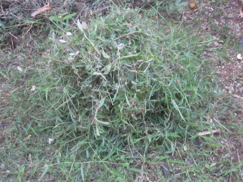 刈った草をウンチの上に山積みにしてウジ虫を封じ込める作戦(笑)!