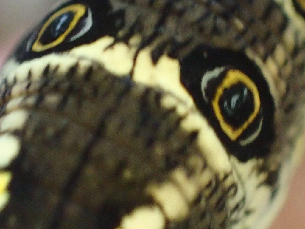 鳥の目?にも見える擬態した芋虫(イモムシ)の眼状紋