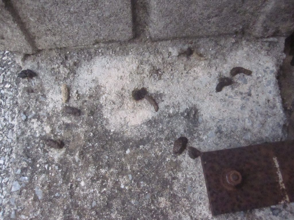 家屋の周囲にネズミの黒い糞・ウンチが増え、夜中の鳴き声「チューチュー」もウルサイ