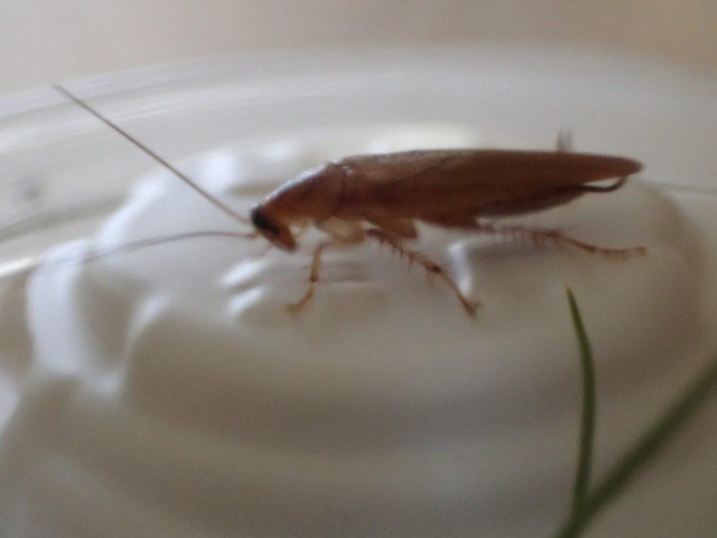 ホウ酸ダンゴの白いケースの上でジッと動かず食べようともしないチャバネゴキブリ