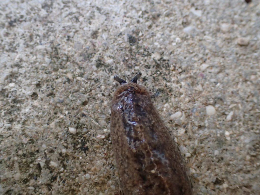 カタツムリのように2つの目を出して地を這い進むナメクジ
