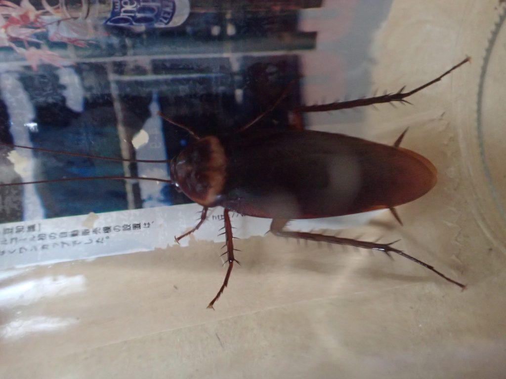 大型の害虫ワモンゴキブリを台所で捕獲!