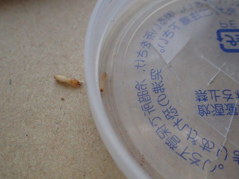 白蟻:顎のあるやつないやつ
