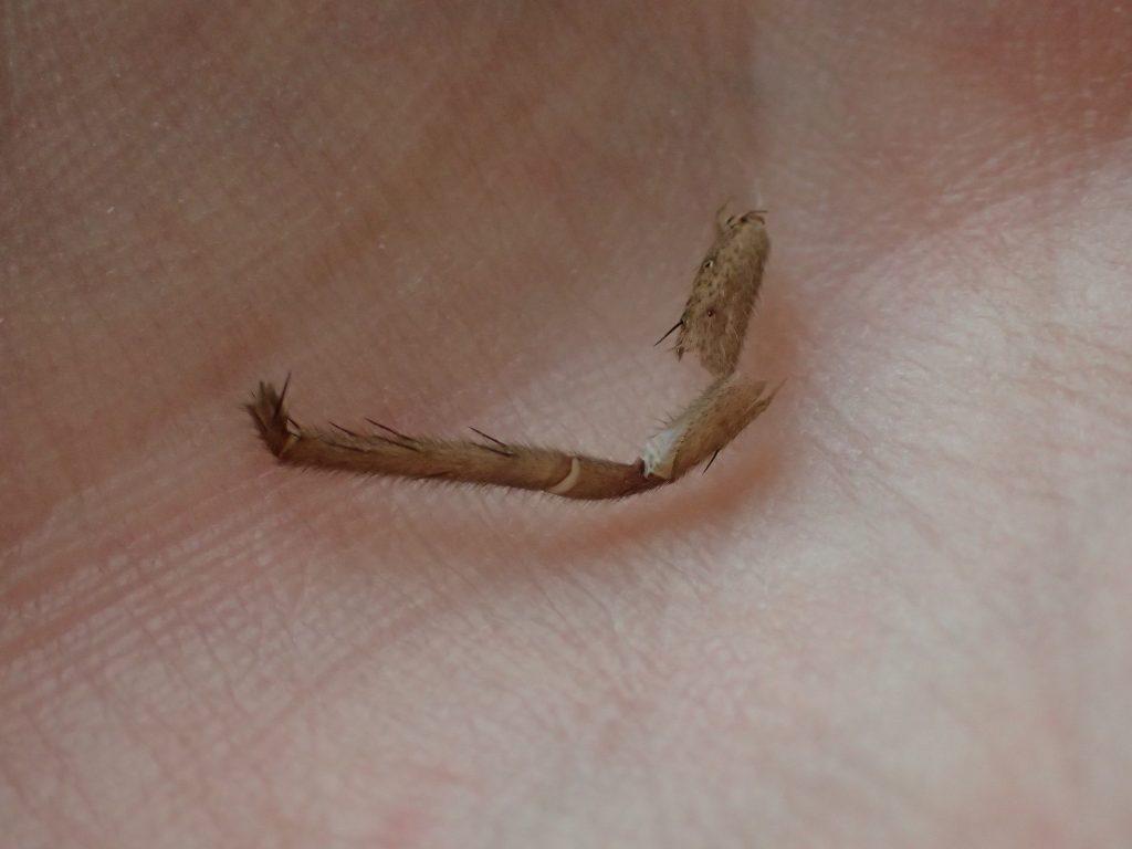 手の平に乗せて確認すると明らかにアシダカグモの脱皮した足の殻にしか見えない