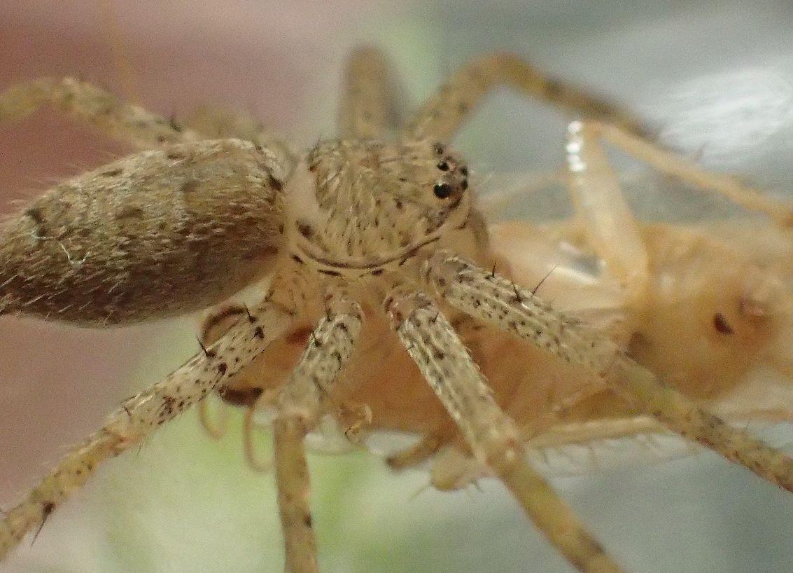 チャバネゴキブリを捕食するアシダカグモ