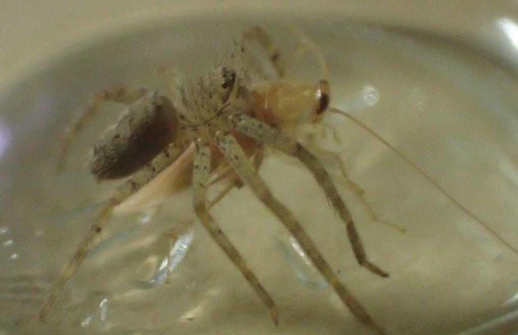 チャバネゴキブリの背後から忍び寄り飛びついたアシダカグモ