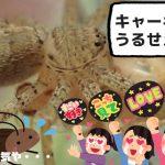 狭い隙間からも侵入する厄介な害虫チャバネゴキブリは、小型の子どもアシダカグモが大好物の獲物です!