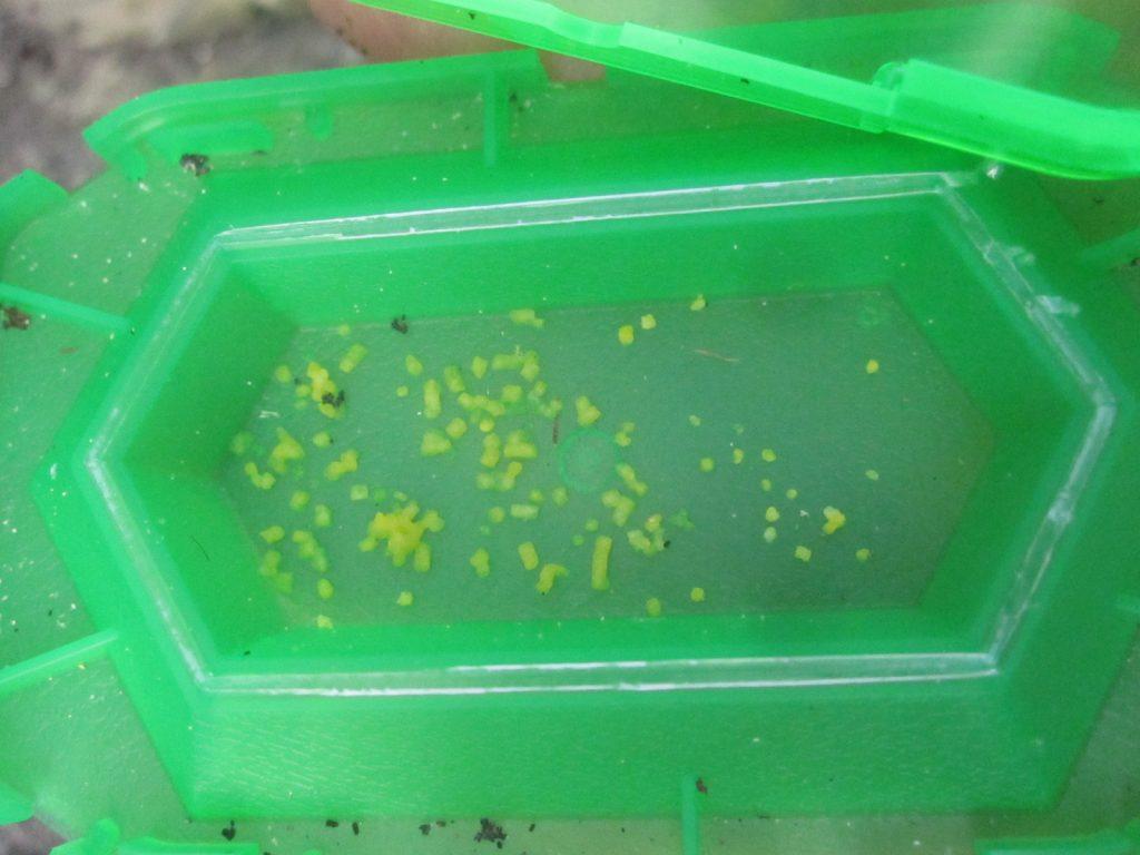 赤い蟻(アリ)の行列にアリ巣コロリを置いたら完食した。
