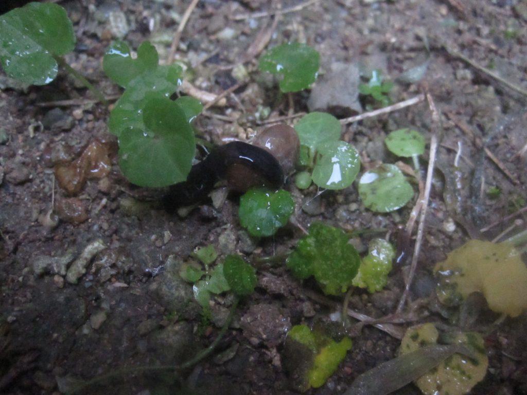 カタツムリを捕食するニューギニアヤリガタリクウズムシ