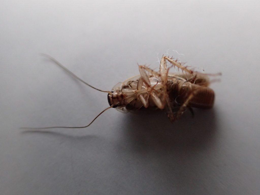 死んだ害虫のチャバネゴキブリ