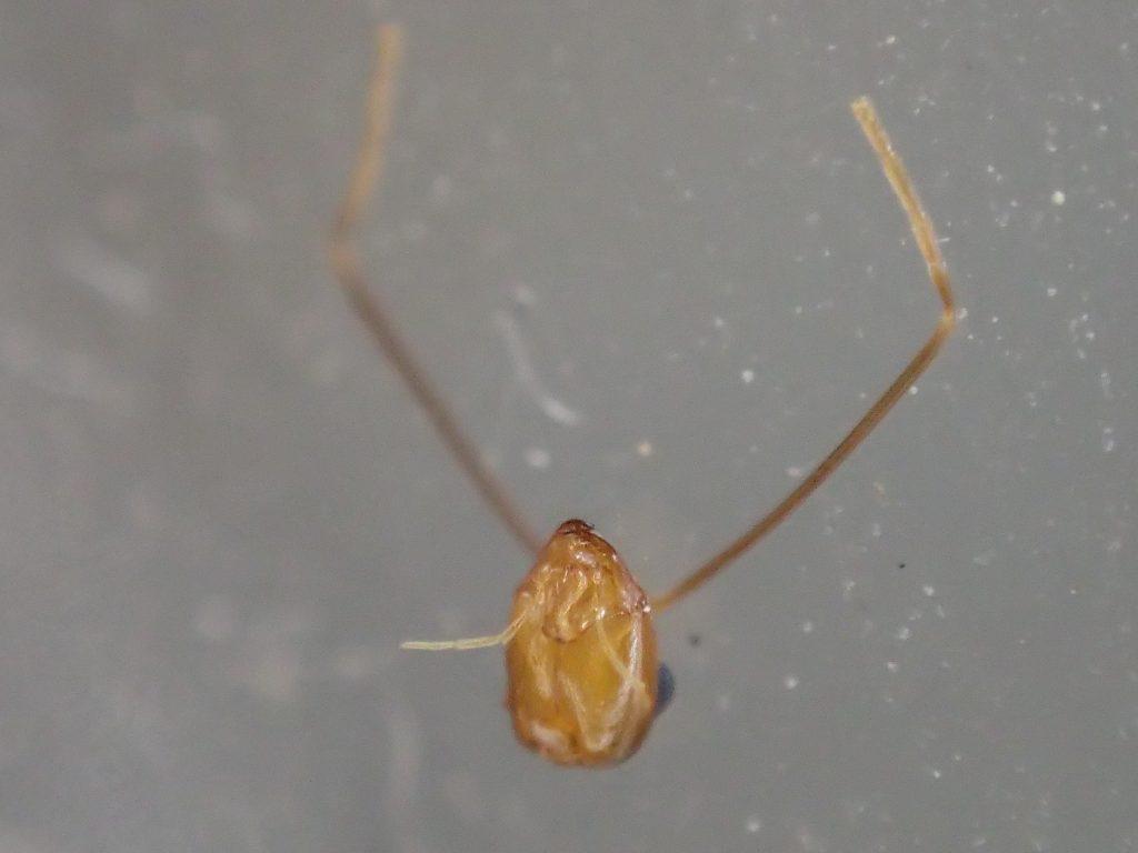 害虫の蟻アシナガキアリの頭部