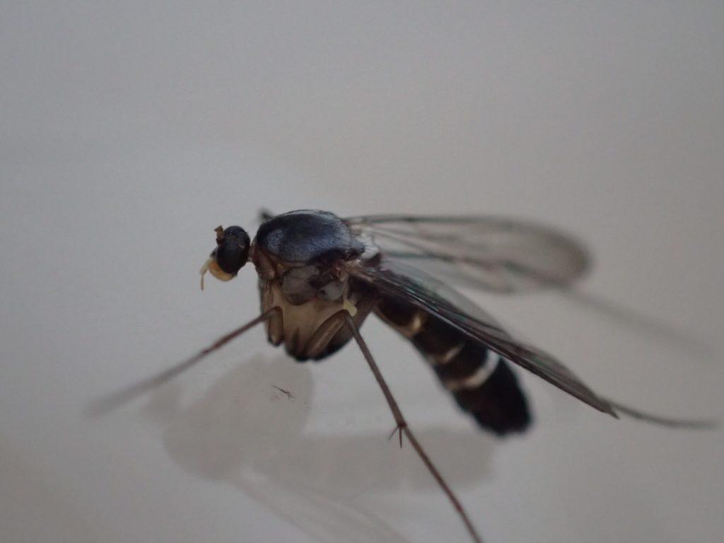 腹部の出っ張り部分が特徴の昆虫の正体はブユ?ブヨ?