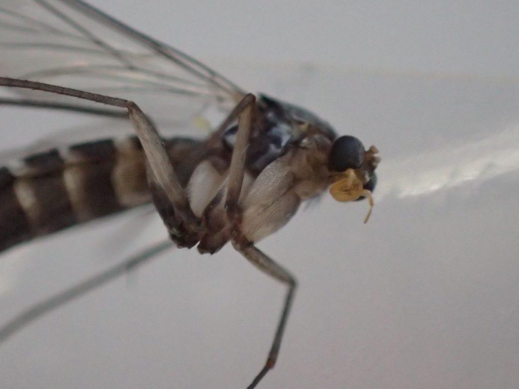 非常に頭部が小さく、胸部の脚が太いのが特徴の昆虫