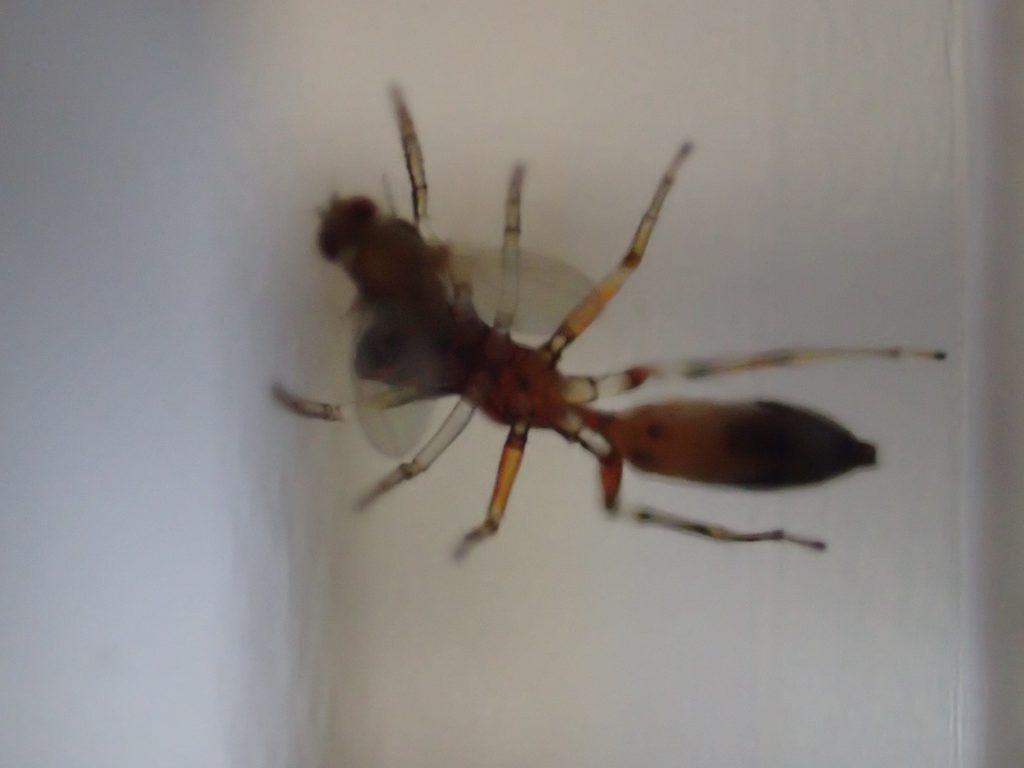 蟻に姿形がソックリなアリグモがショウジョウバエを食らう