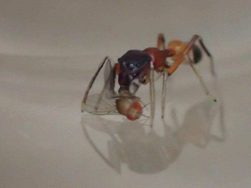 ショウジョウバエを食べるアリグモ(蟻蜘蛛)