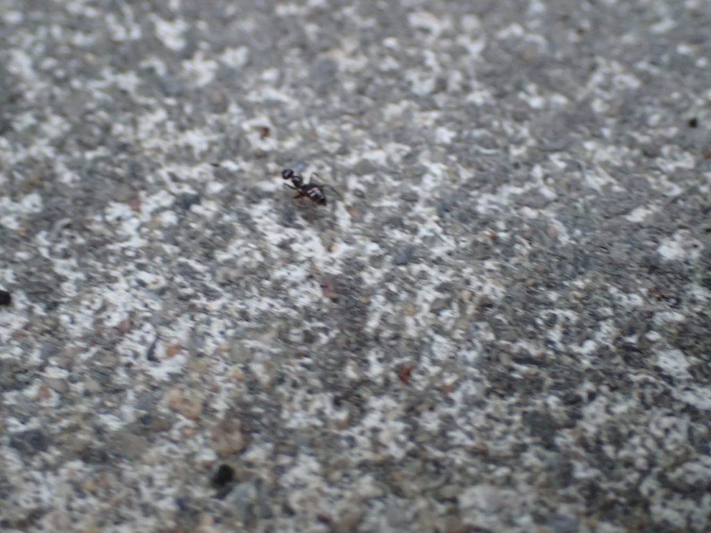 なぜか別種の黒いアリは素通りして氷に興味を示さない