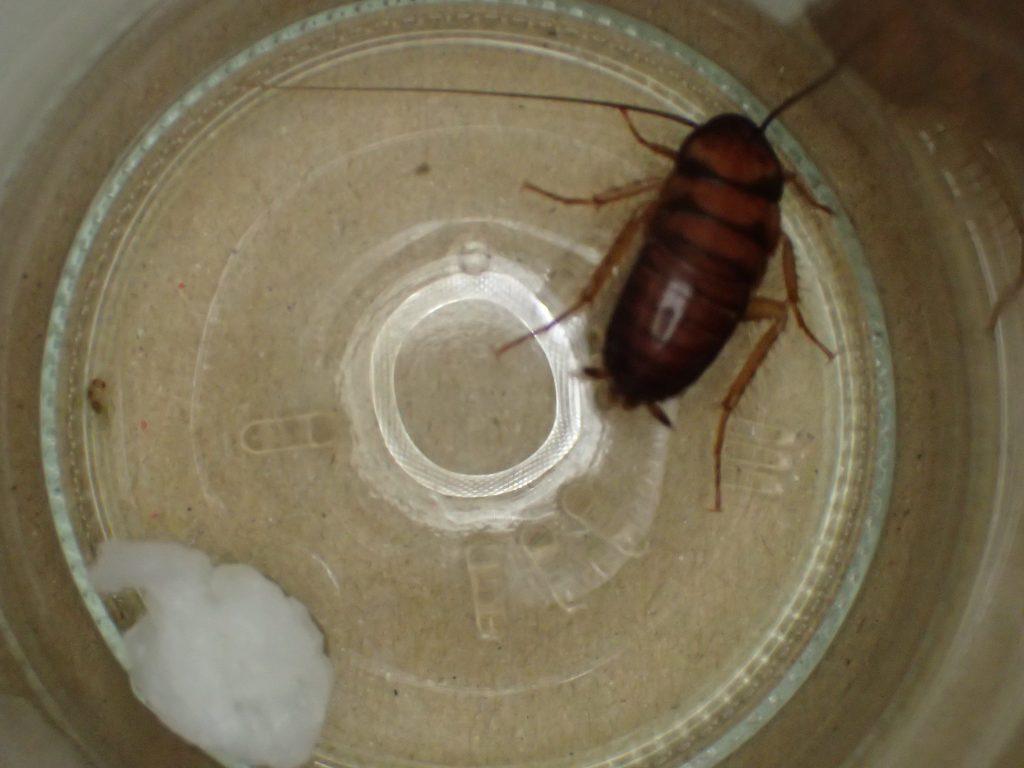 喉が乾いて水分を欲しがってそうなゴキブリに水代わりに酒を飲ませてみる試み