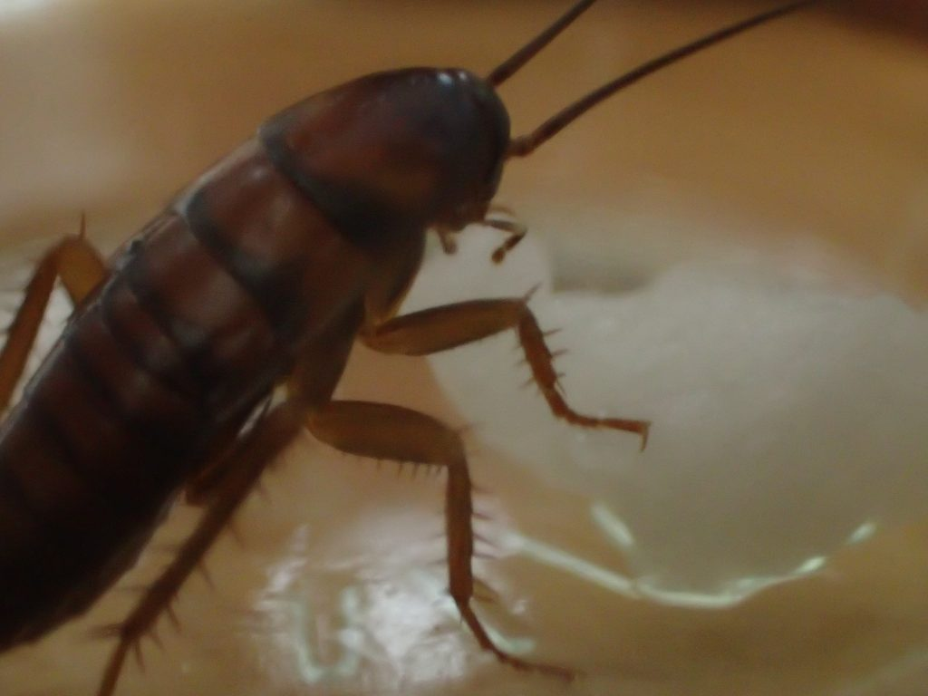 脚を乗せてペロペロと舐めて酒を飲むワモンゴキブリ