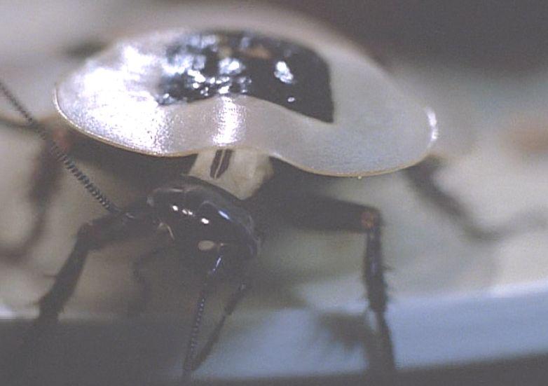 象徴的に登場する白いゴキブリ?の種類はドクロゴキブリなのだろうか・・・