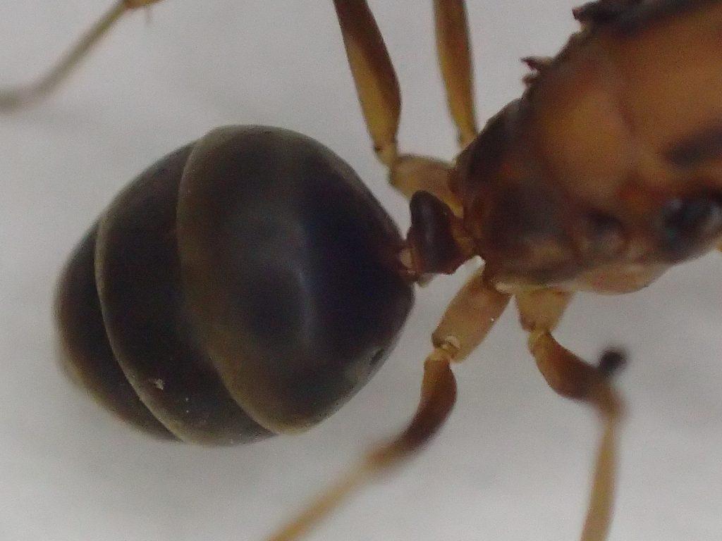 赤い蟻・アシナガキアリの女王アリ(クイーン)