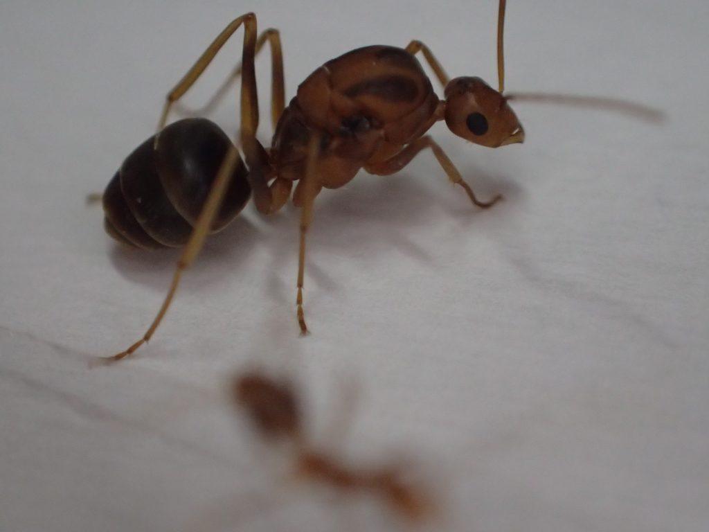 普通のアシナガキアリ(兵隊アリ?)と大きさ・サイズを比較する写真