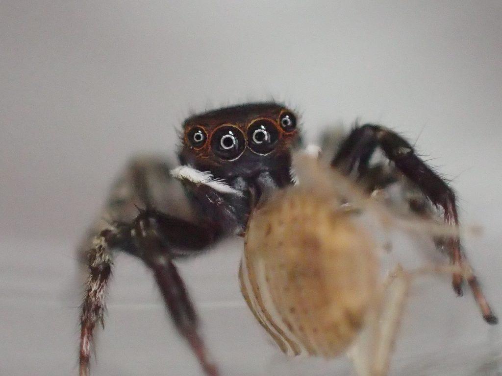 """益虫の蜘蛛""""アダンソンハエトリ""""が幼齢ゴキブリを捕まえた瞬間"""