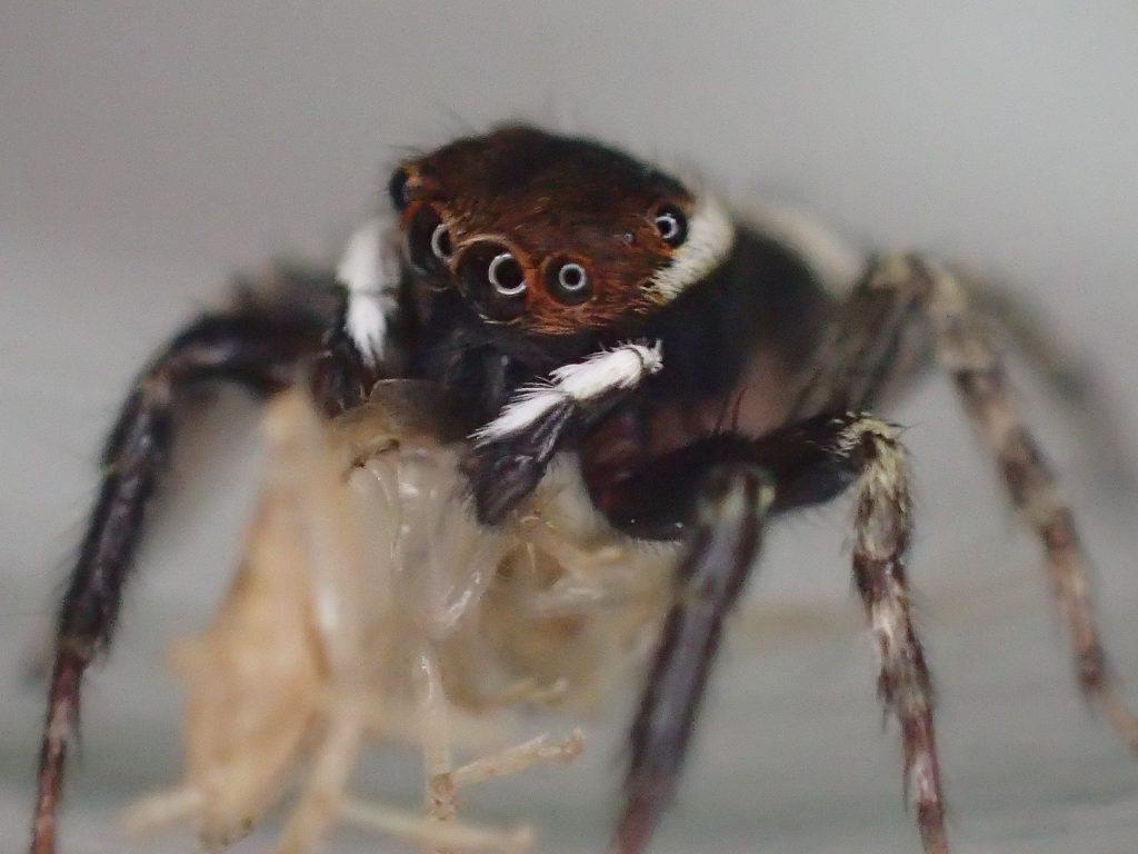 ガッチリとゴキブリを捕まえてモグモグ食べるハエトリグモ