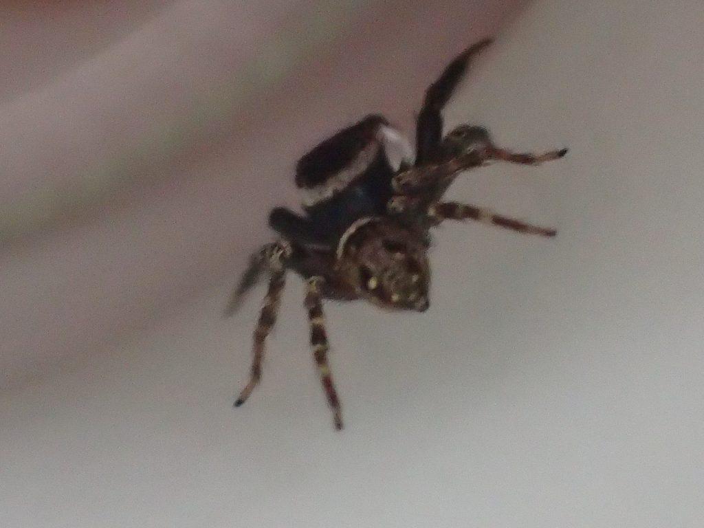 周囲を警戒しながら食事するアダンソンハエトリ(蜘蛛)