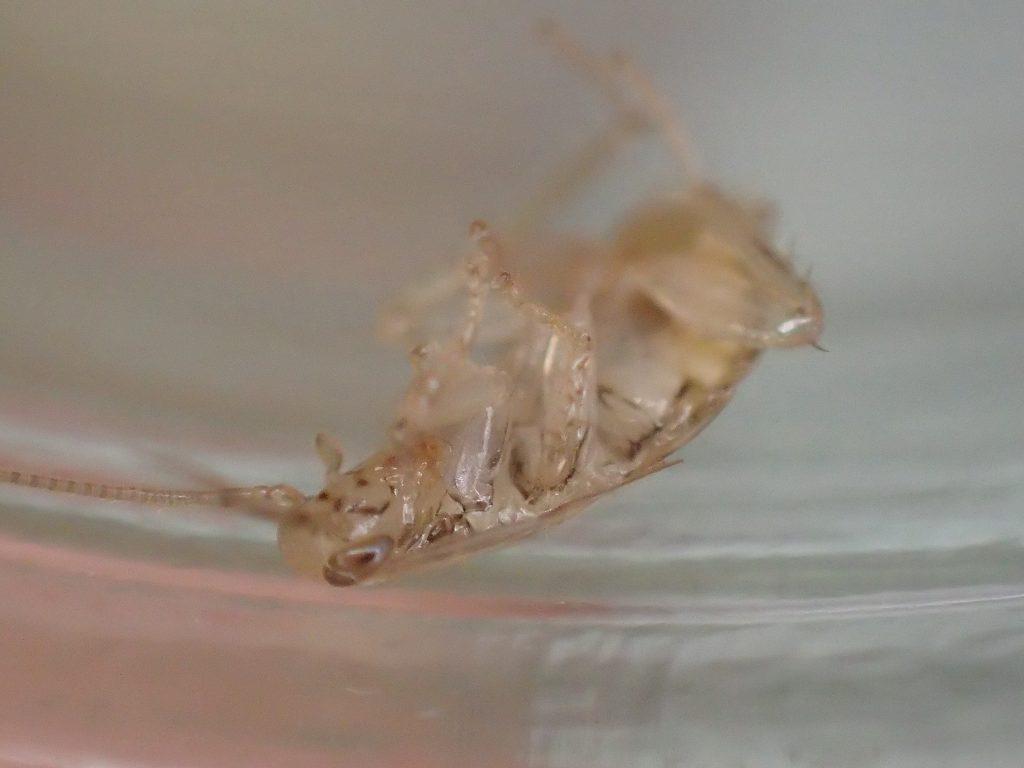 数十分後、息絶えたゴキブリの赤ちゃんが転がっていた
