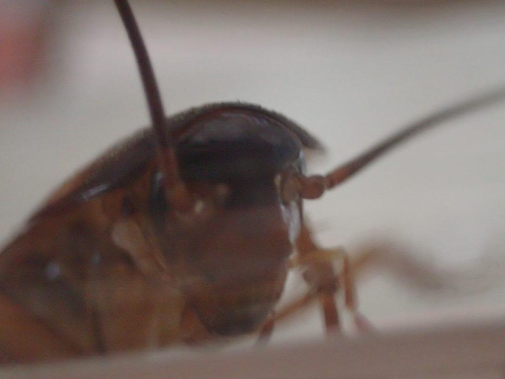 害虫ワモンゴキブリの頭部・顔面を接写した画像