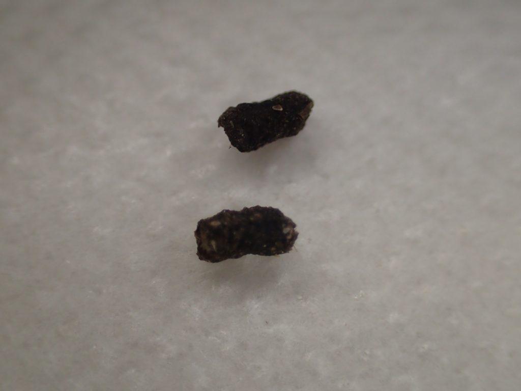 害虫ワモンゴキブリが排泄した糞(ウンチ)の写真・画像